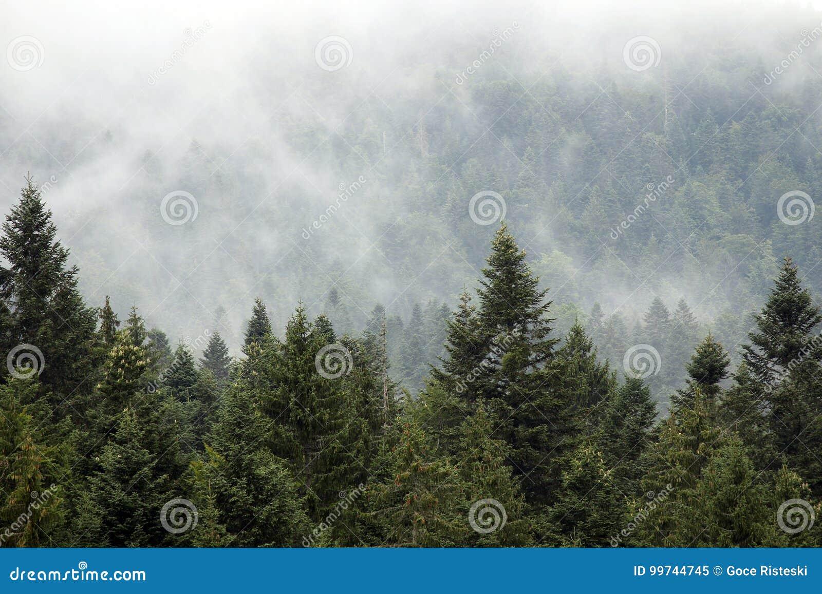 Floresta da montanha na névoa