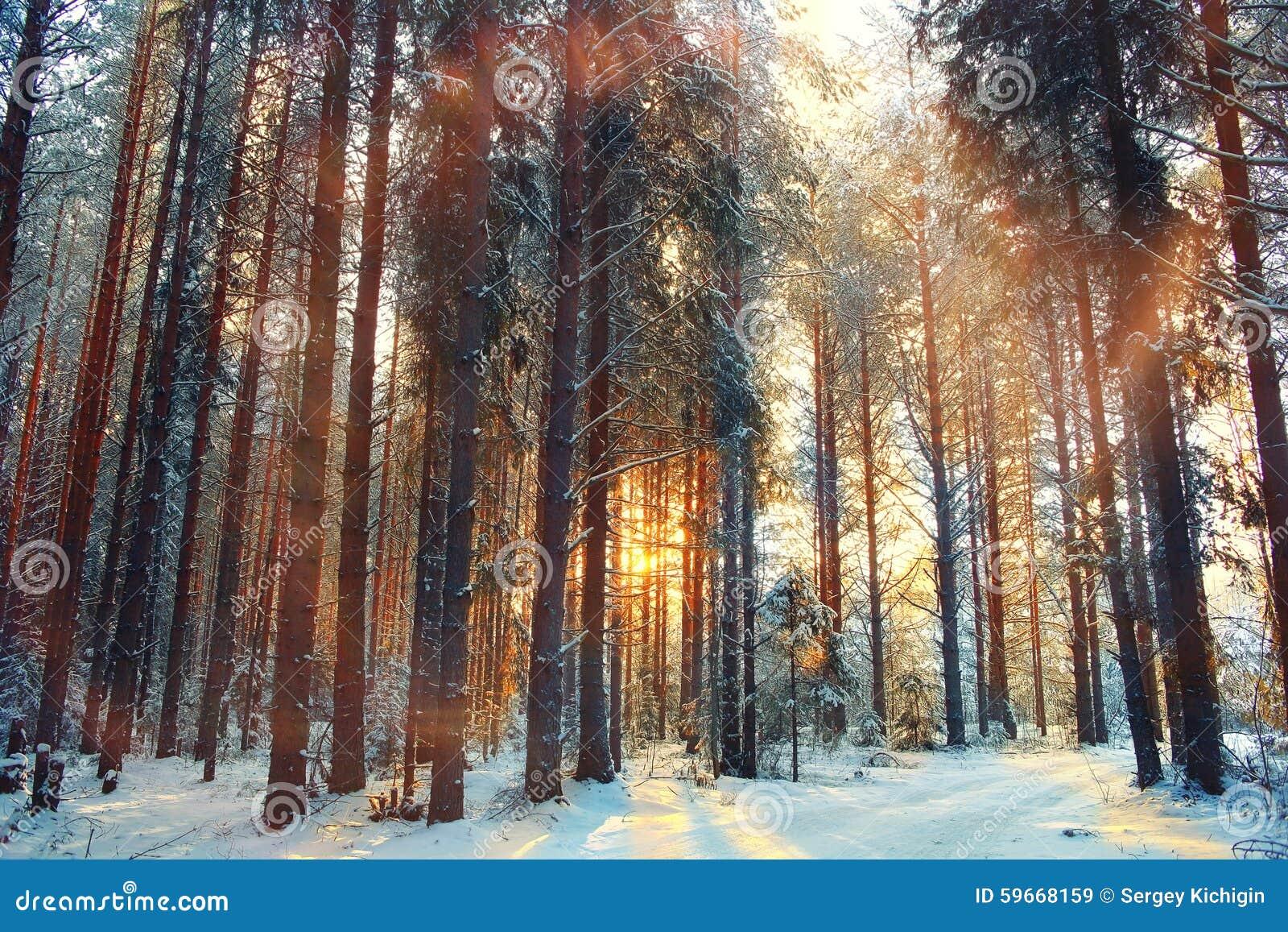 Floresta da neve da paisagem no inverno