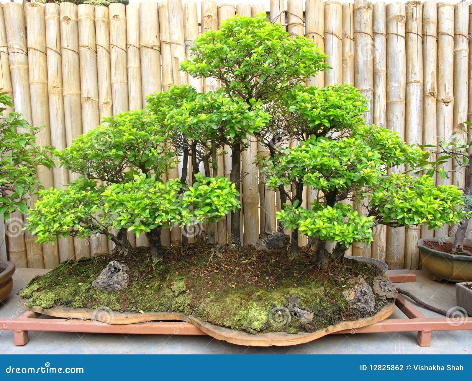 Floresta da planta dos bonsais fotografia de stock imagem 12825862 - Plantas para bonsai ...