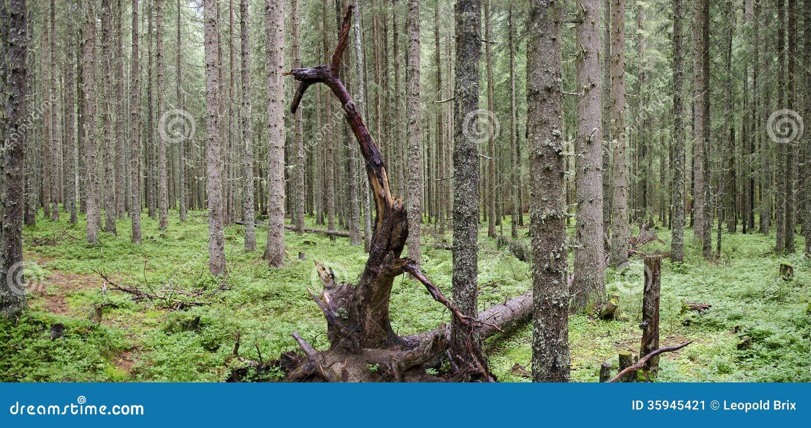 Floresta das coníferas com árvore inoperante