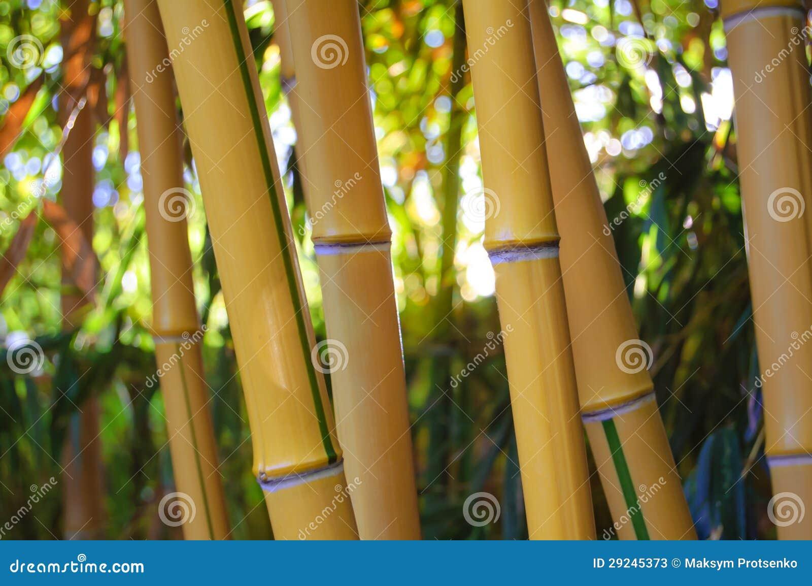 Download Floresta De Bambu Amarela Com Fundo Ensolarado Imagem de Stock - Imagem de redondo, verão: 29245373