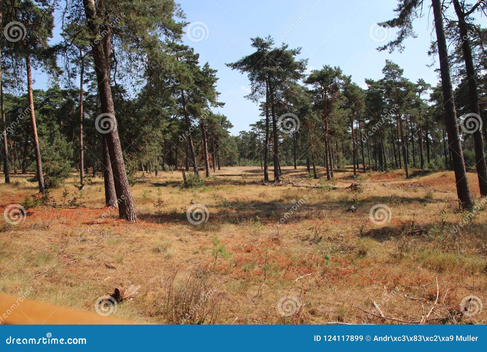 Floresta de Brown devido à seca nos Países Baixos durante o verão de 2018