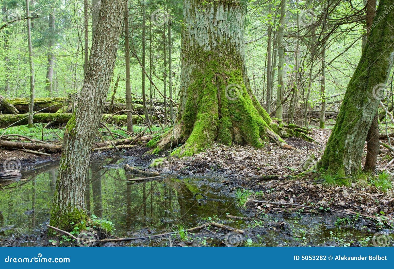 Floresta deciduous da primavera