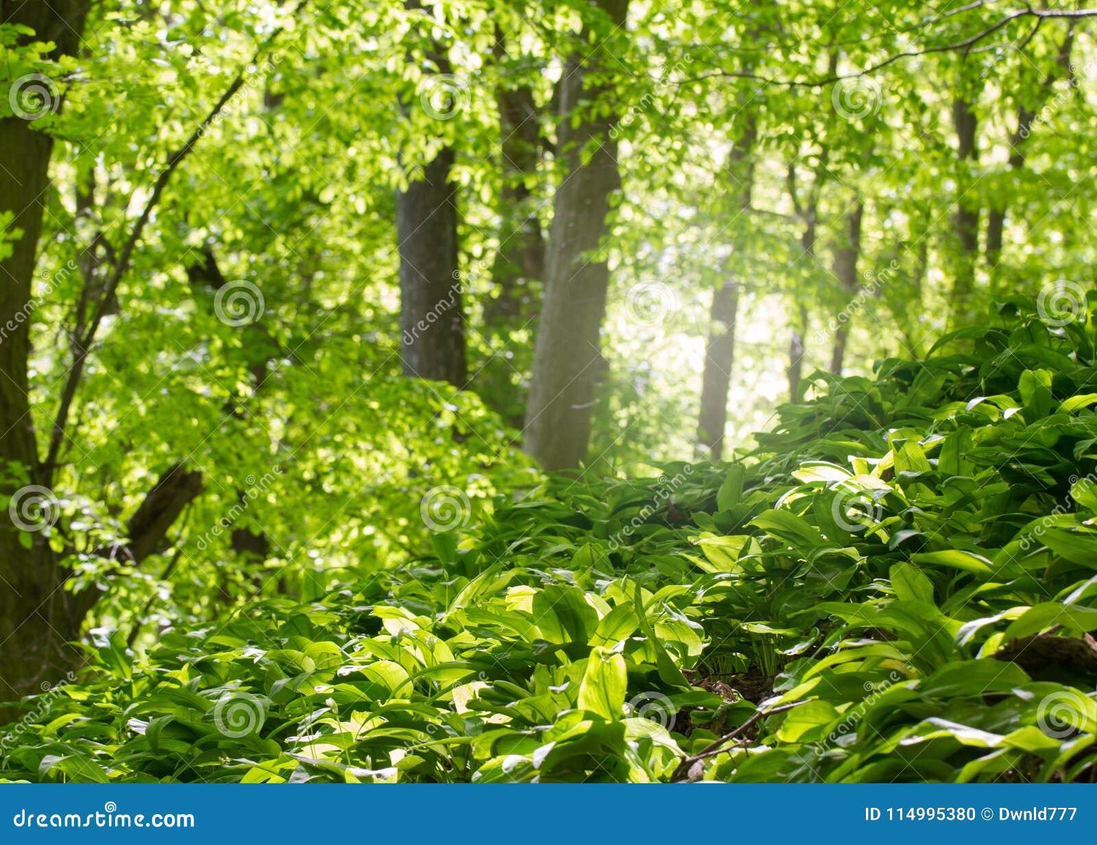 Floresta deciduous verde