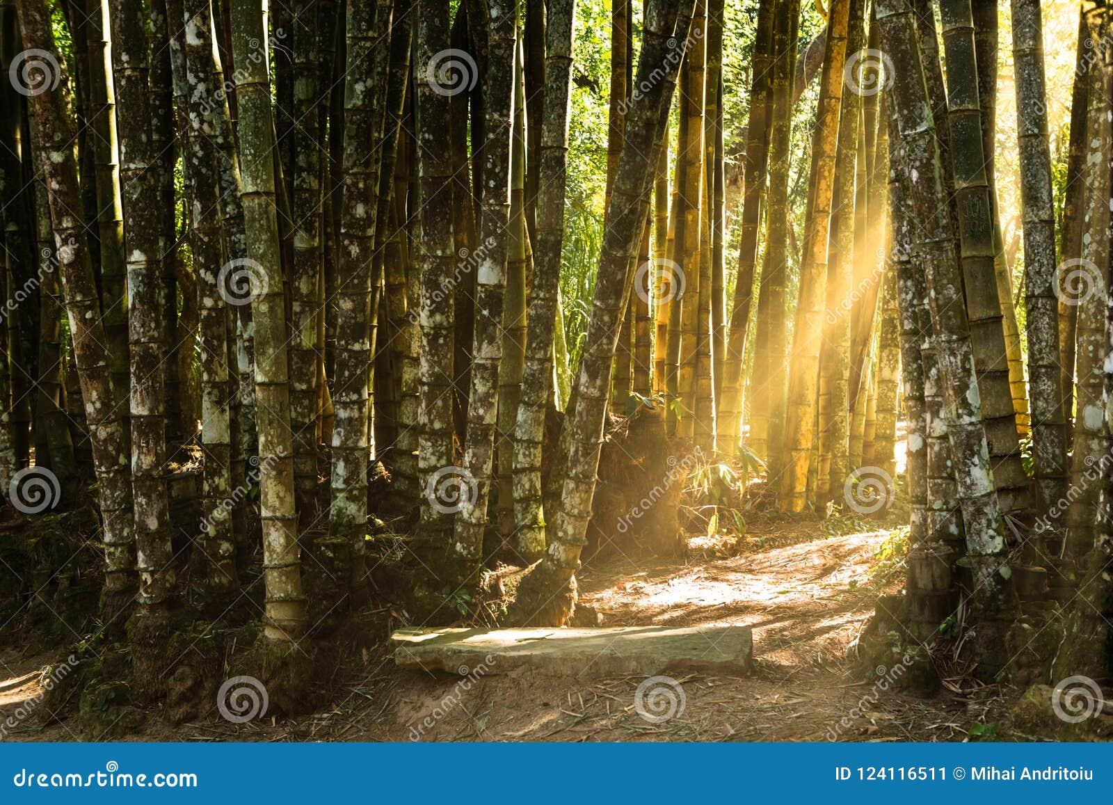 Floresta do bambu gigante