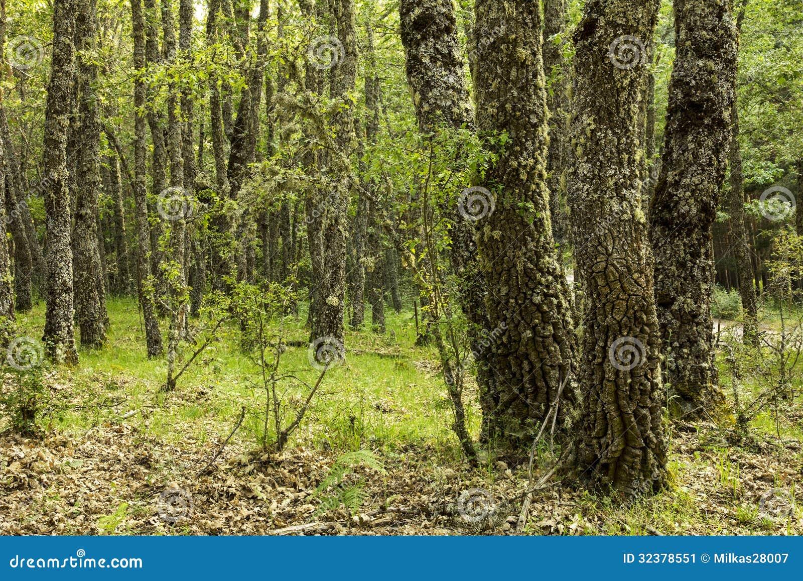 Floresta do carvalho
