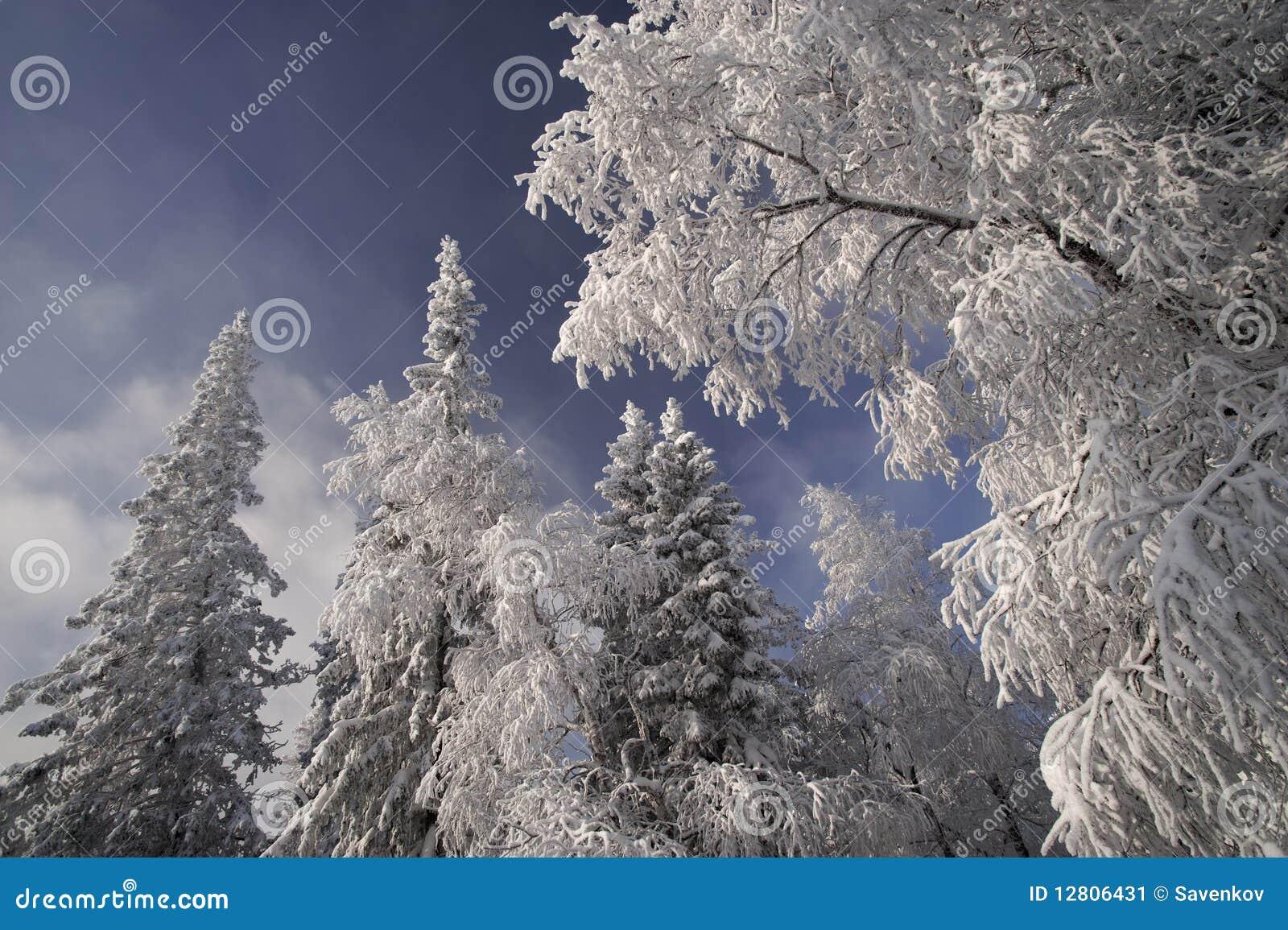 Floresta do inverno nas montanhas de Ural