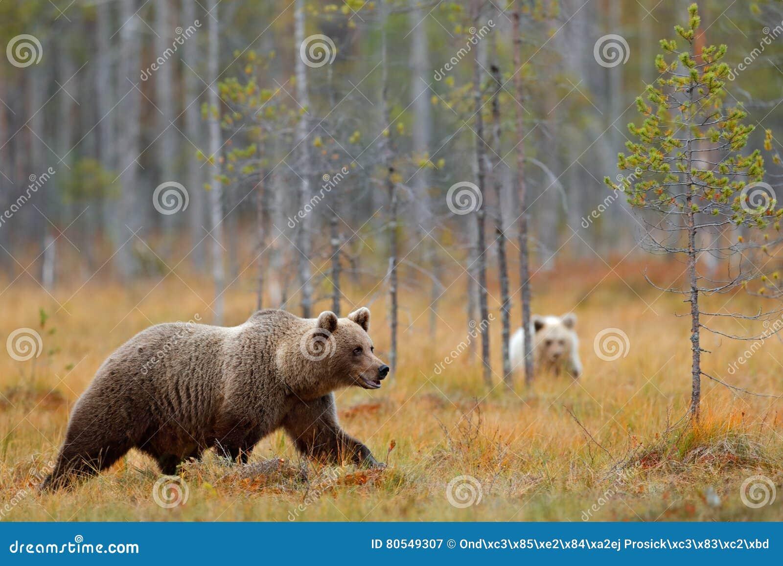 Floresta do outono com o filhote de urso com mãe O urso marrom do bebê bonito hiden no animal perigoso da floresta na floresta e