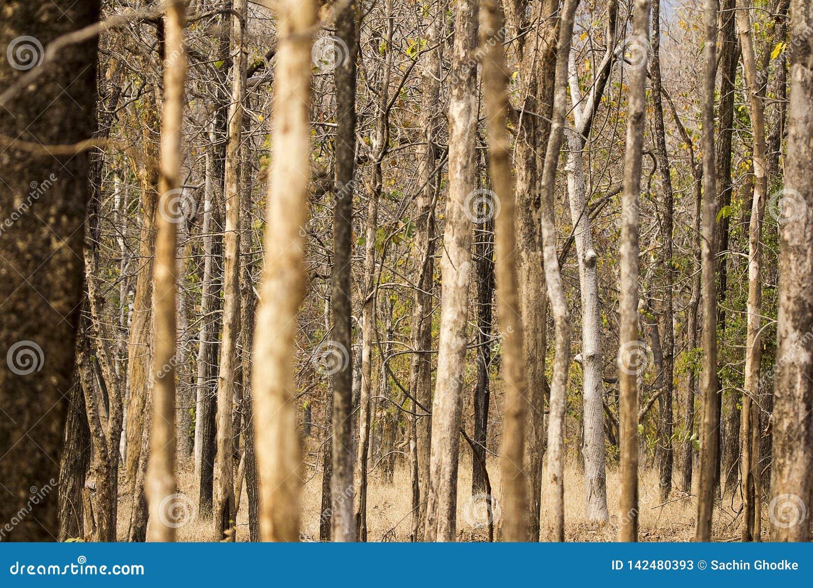 Floresta do parque nacional de Pench, decíduo e seco