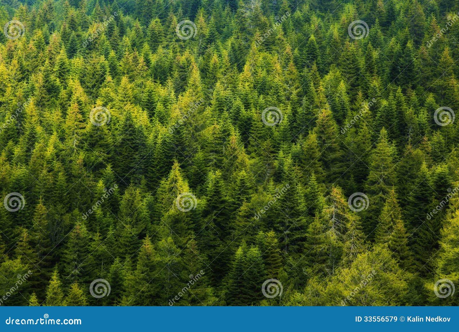 Floresta do pinheiro