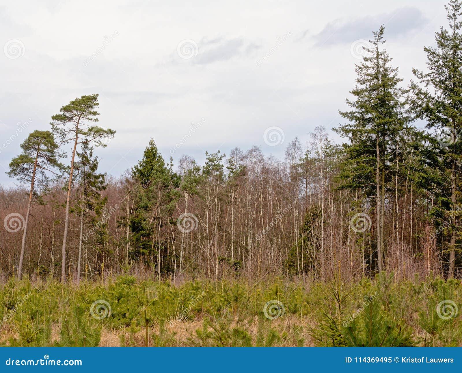 Floresta do pinho de Ardennes com árvores e os rebentos velhos