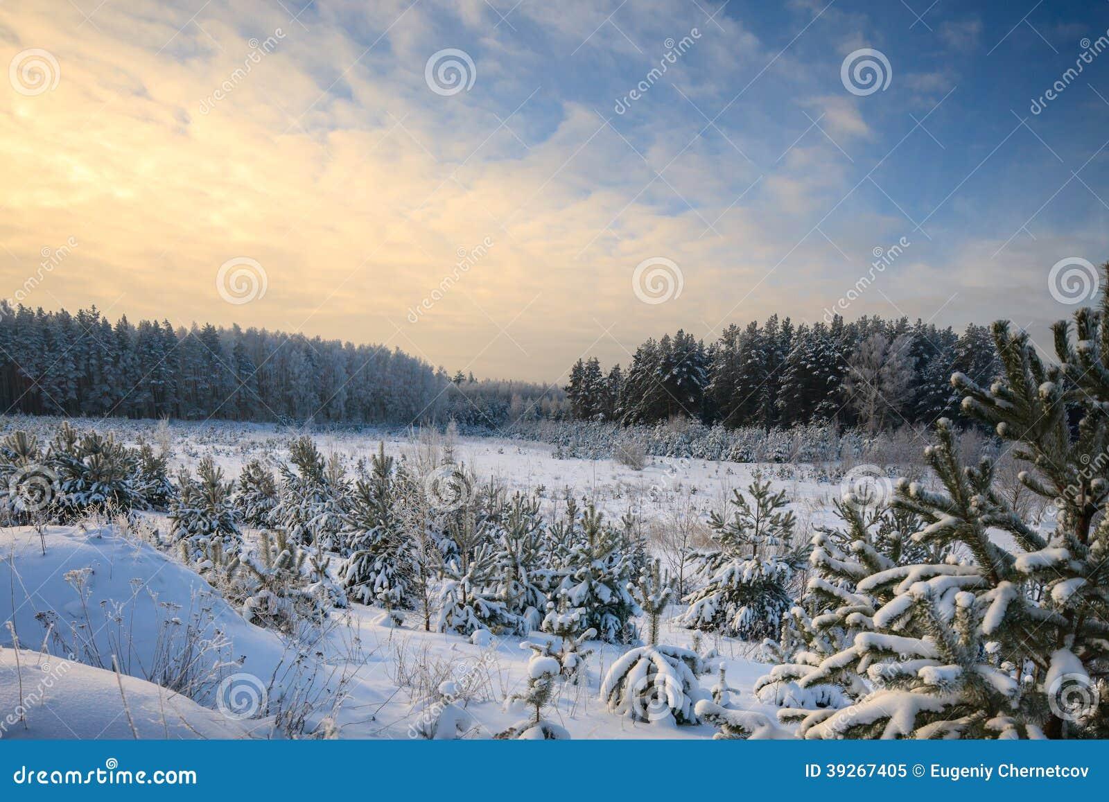 Floresta do pinho do inverno