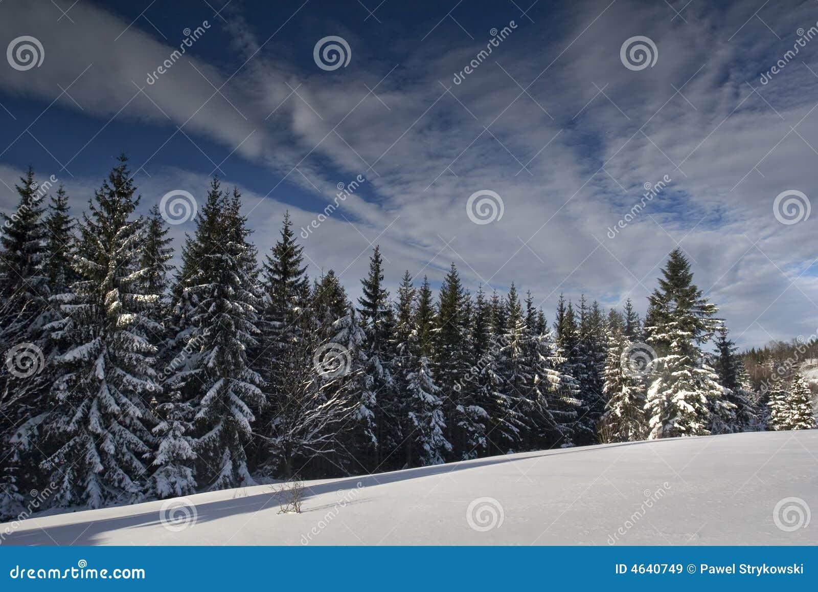Floresta do pinho na neve