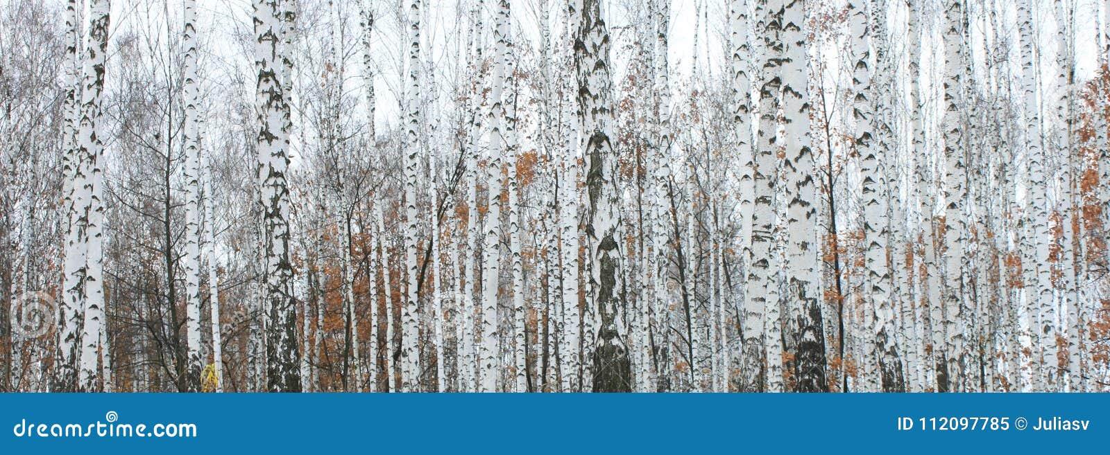 Floresta do vidoeiro em outubro