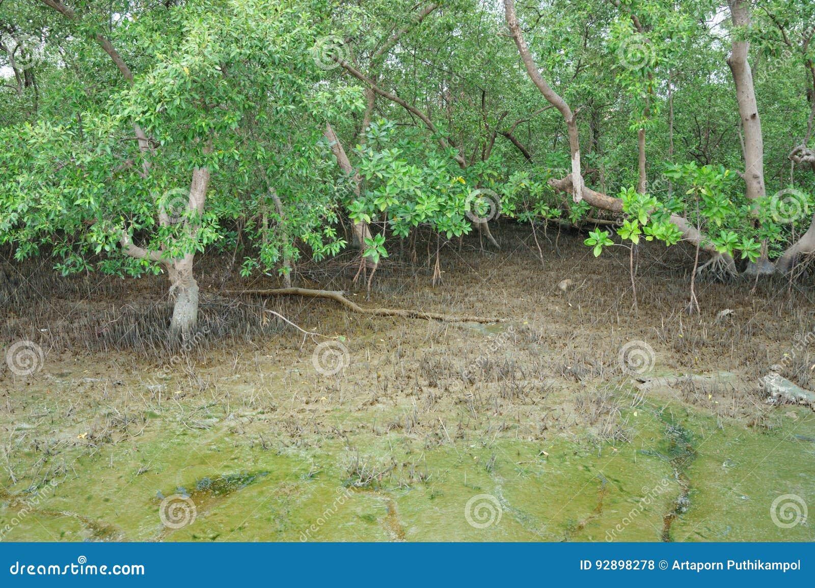 Floresta dos manguezais em Tailândia