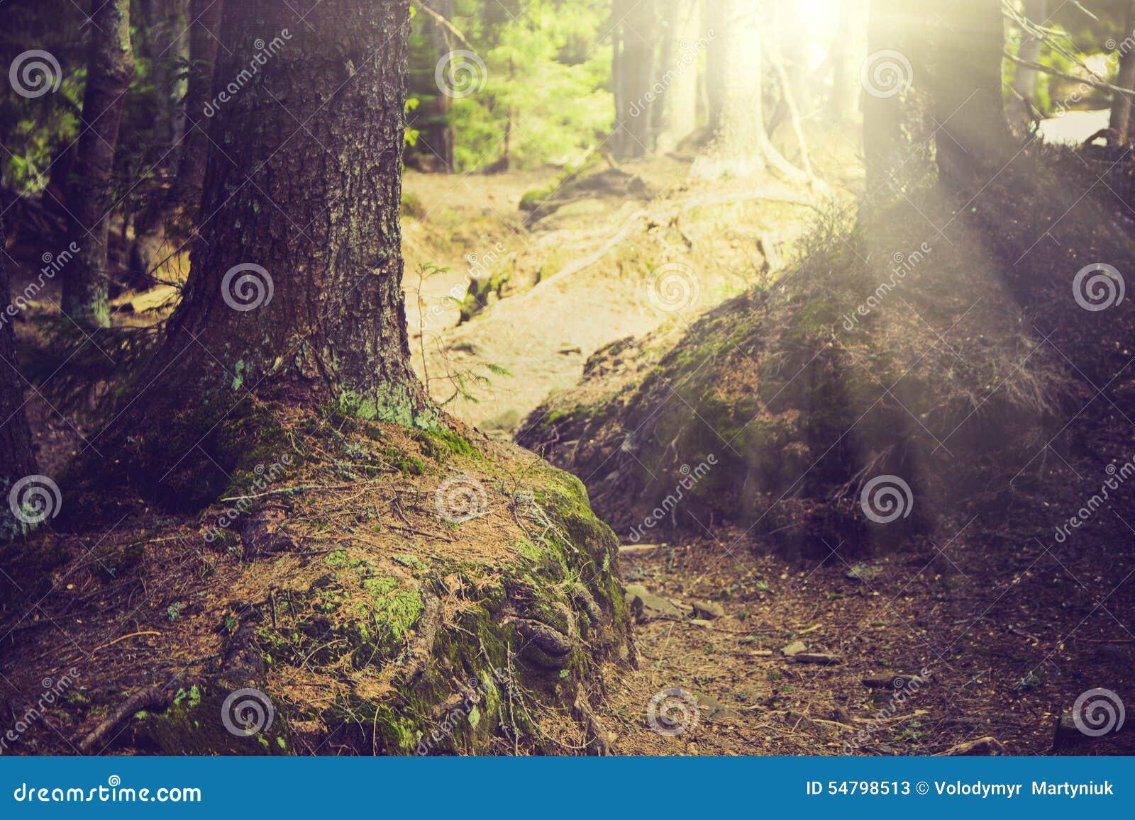 Floresta e árvores densas da montanha com musgo na luz mágica