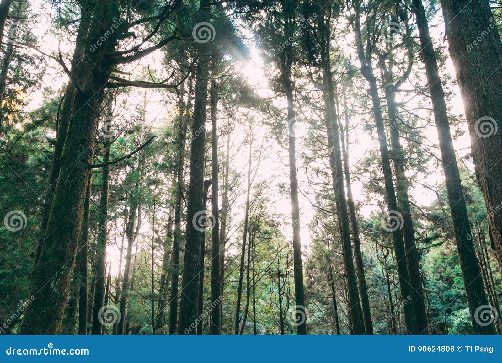 Floresta em Alishan Formosa, taichung