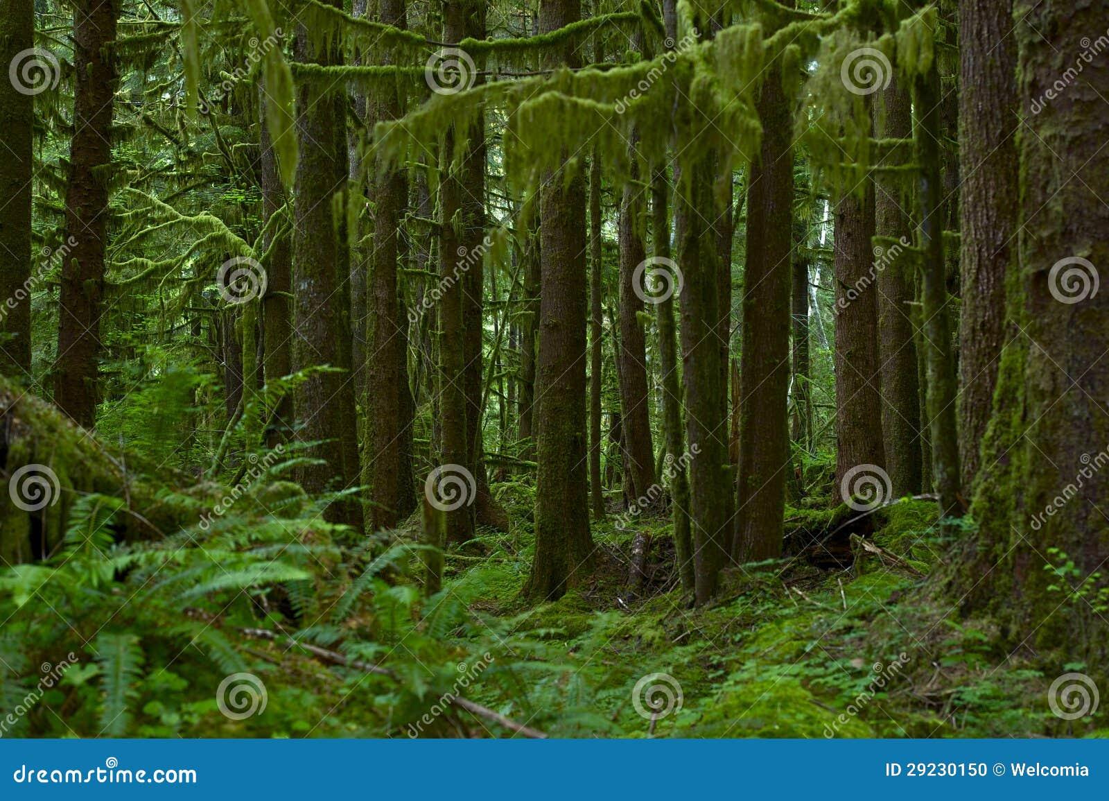 Download Floresta Húmida De Nortwest E.U. Foto de Stock - Imagem de dossel, verde: 29230150