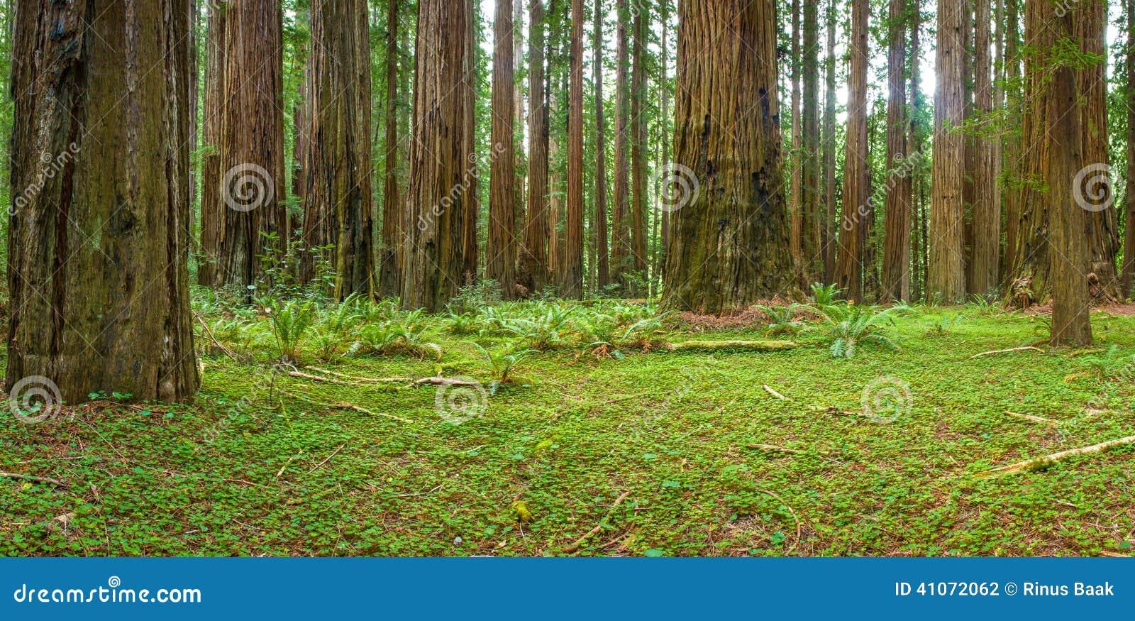 Floresta litoral da sequoia vermelha