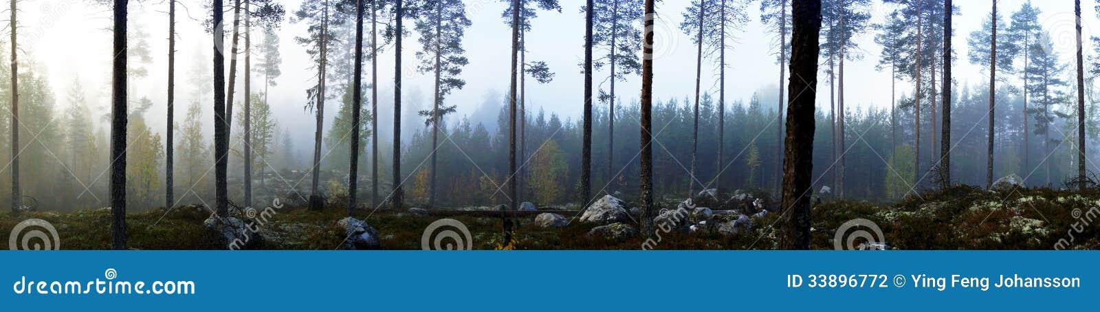 Floresta sueco do pinho na névoa