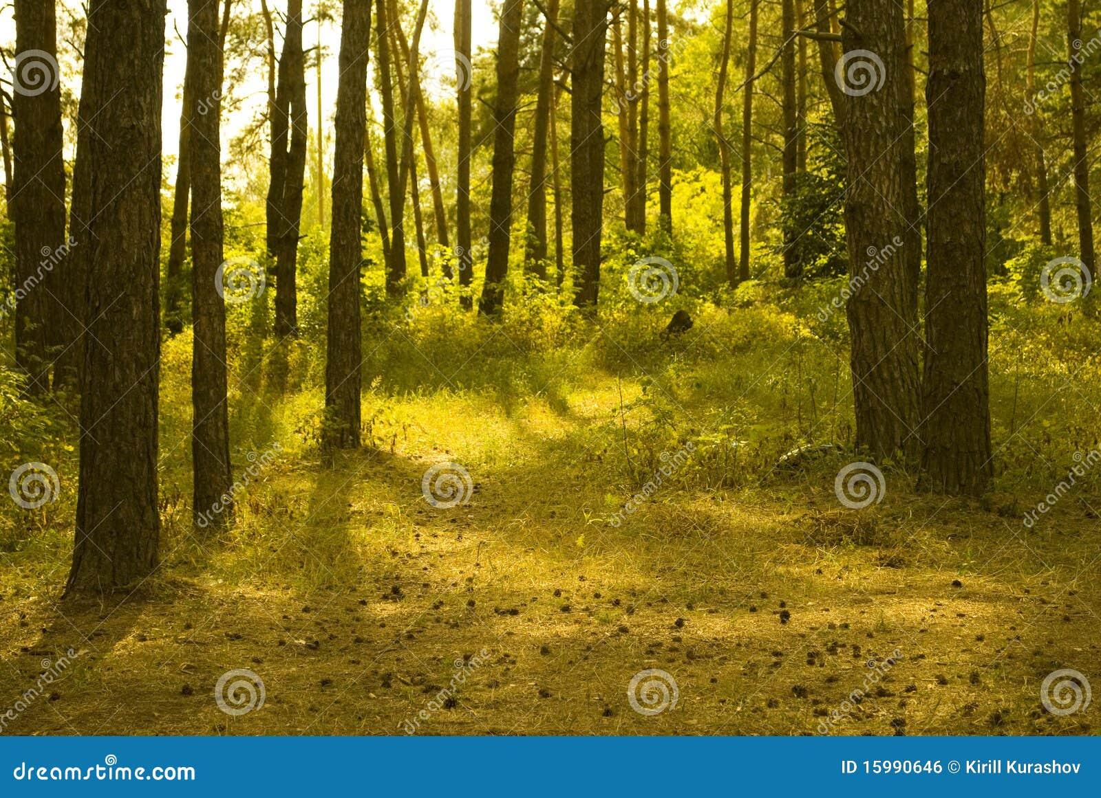Floresta Sunlit do pinho