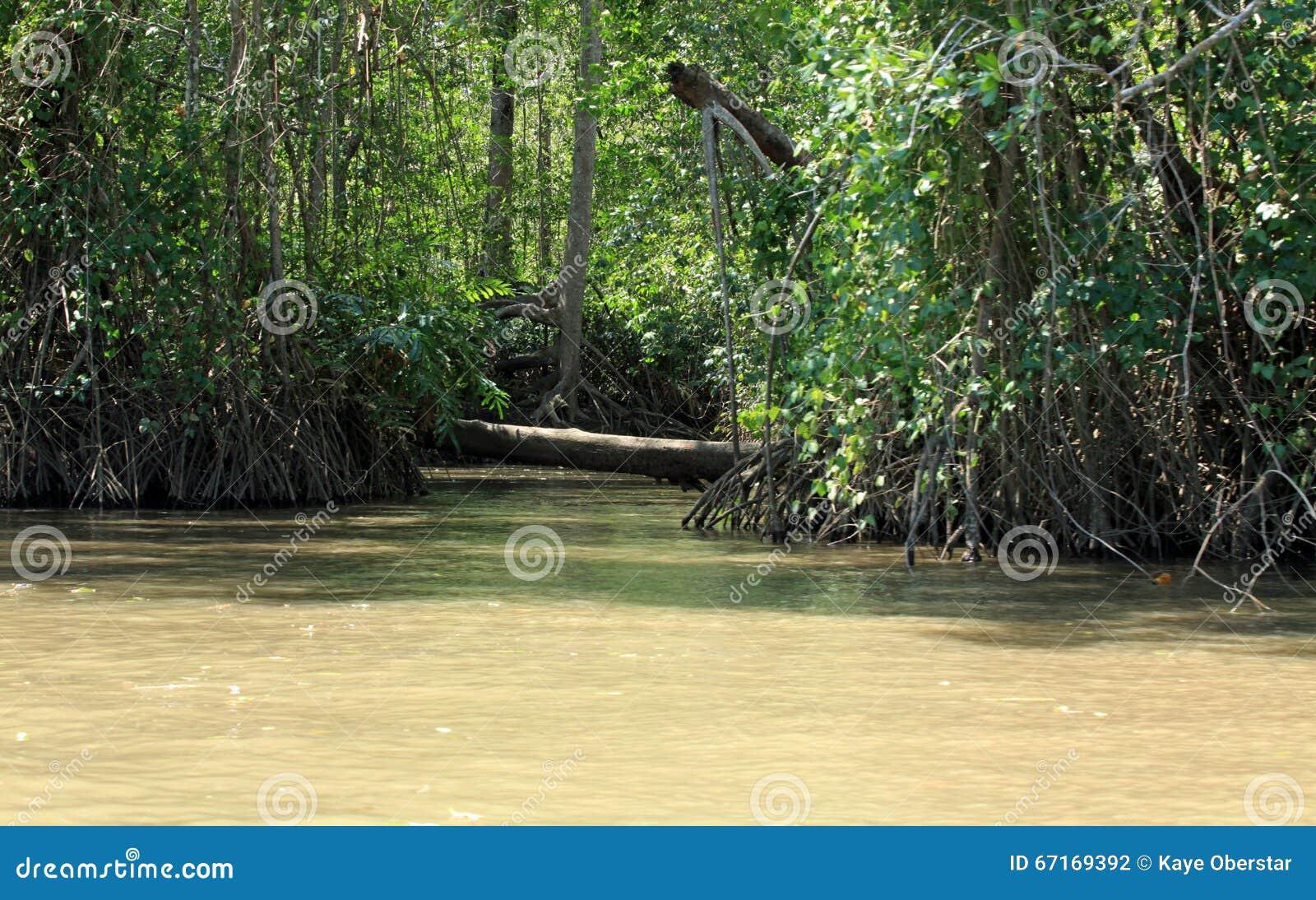 Florestas dos manguezais ao longo do rio de Tarcoles
