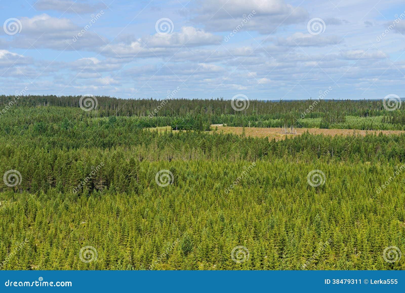 Florestas infinitas do pinho.