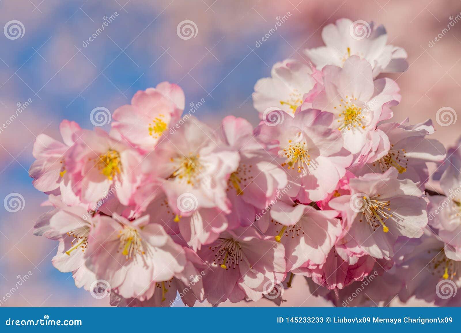 Florets весны в саде в солнечном дне Зацветая вишневое дерево цветков