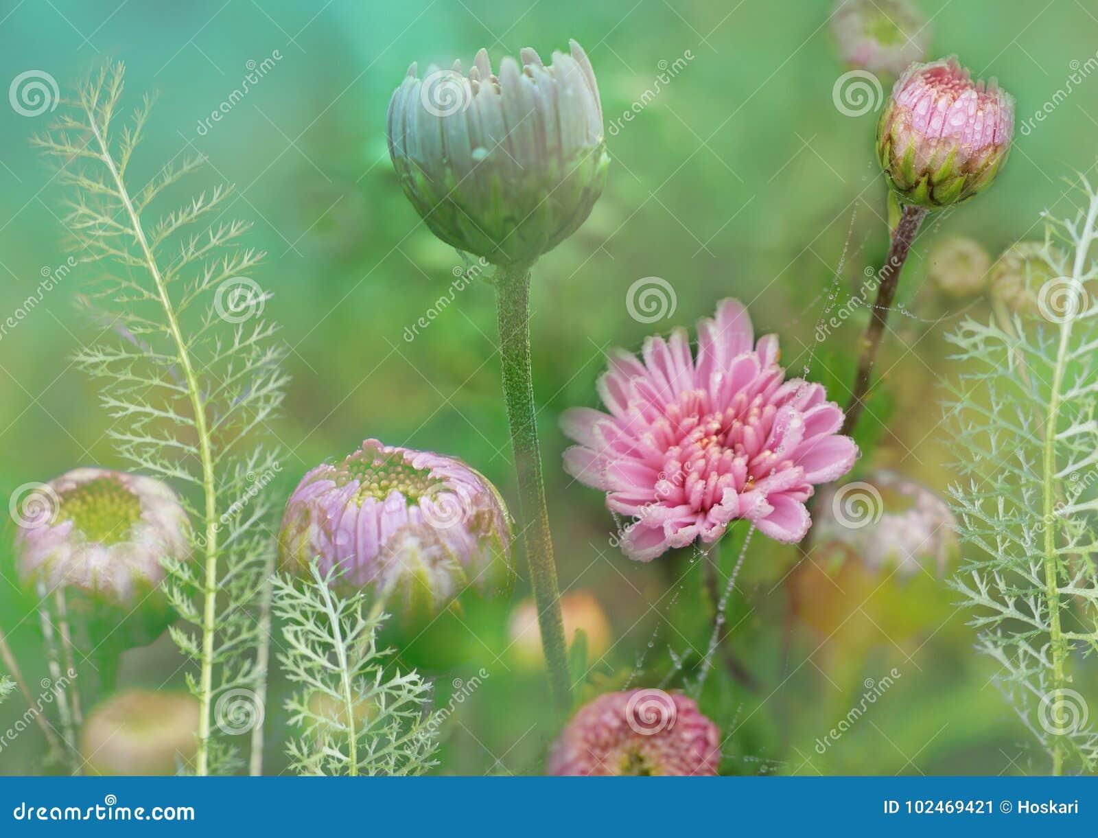 Florezca con el crisantemo y la milenrama, prado floral, planta el ejemplo floral decorativo del fondo, apacible y frágil, a flor