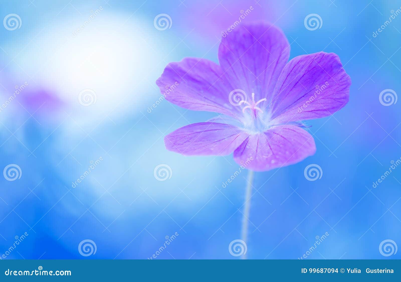 Florezca el color violeta del geranio en un fondo pintado azul Foco selectivo suave