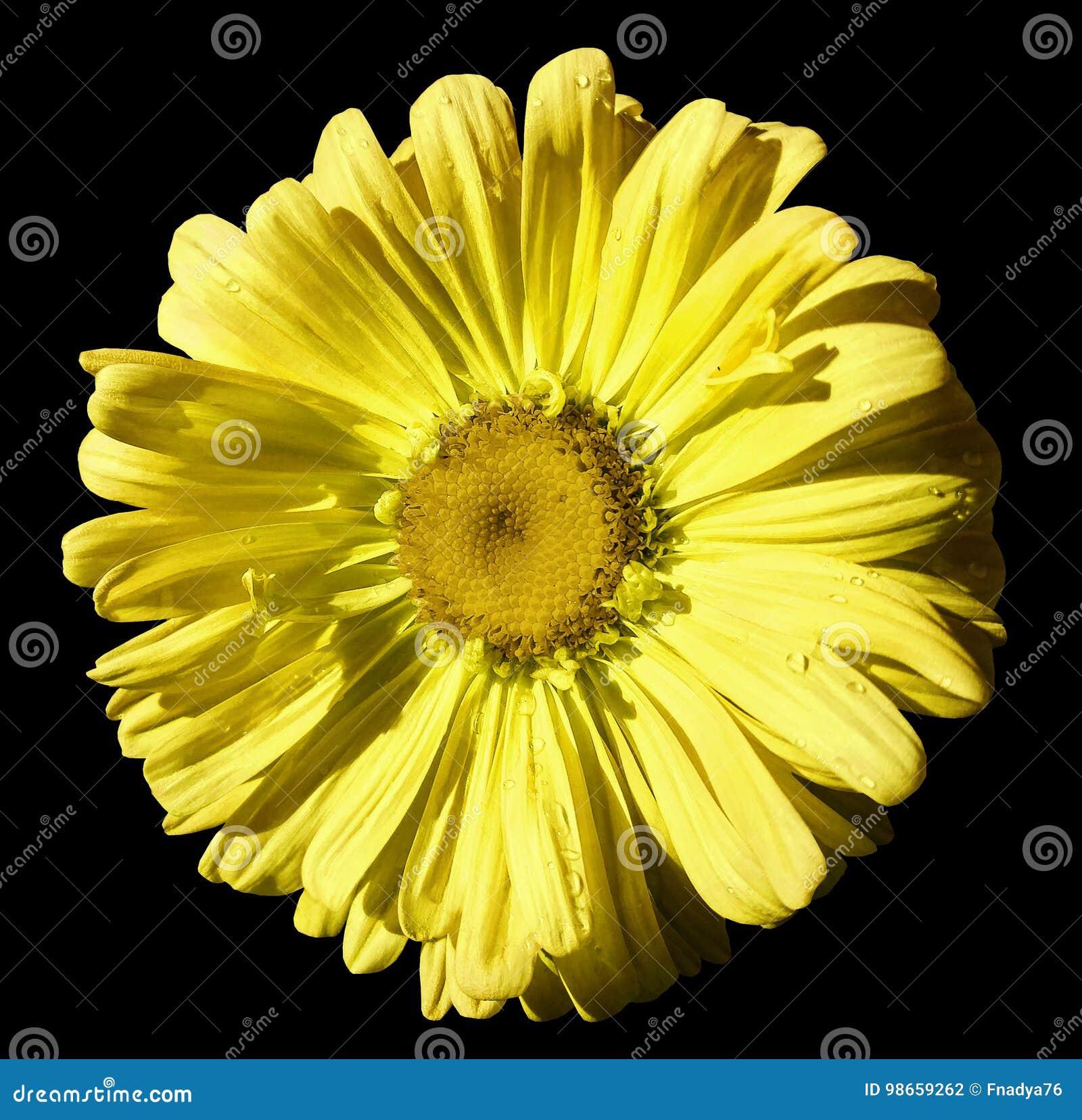 Florezca la manzanilla amarilla en fondo aislado negro con la trayectoria de recortes Margarita naranja-amarilla con las gotitas