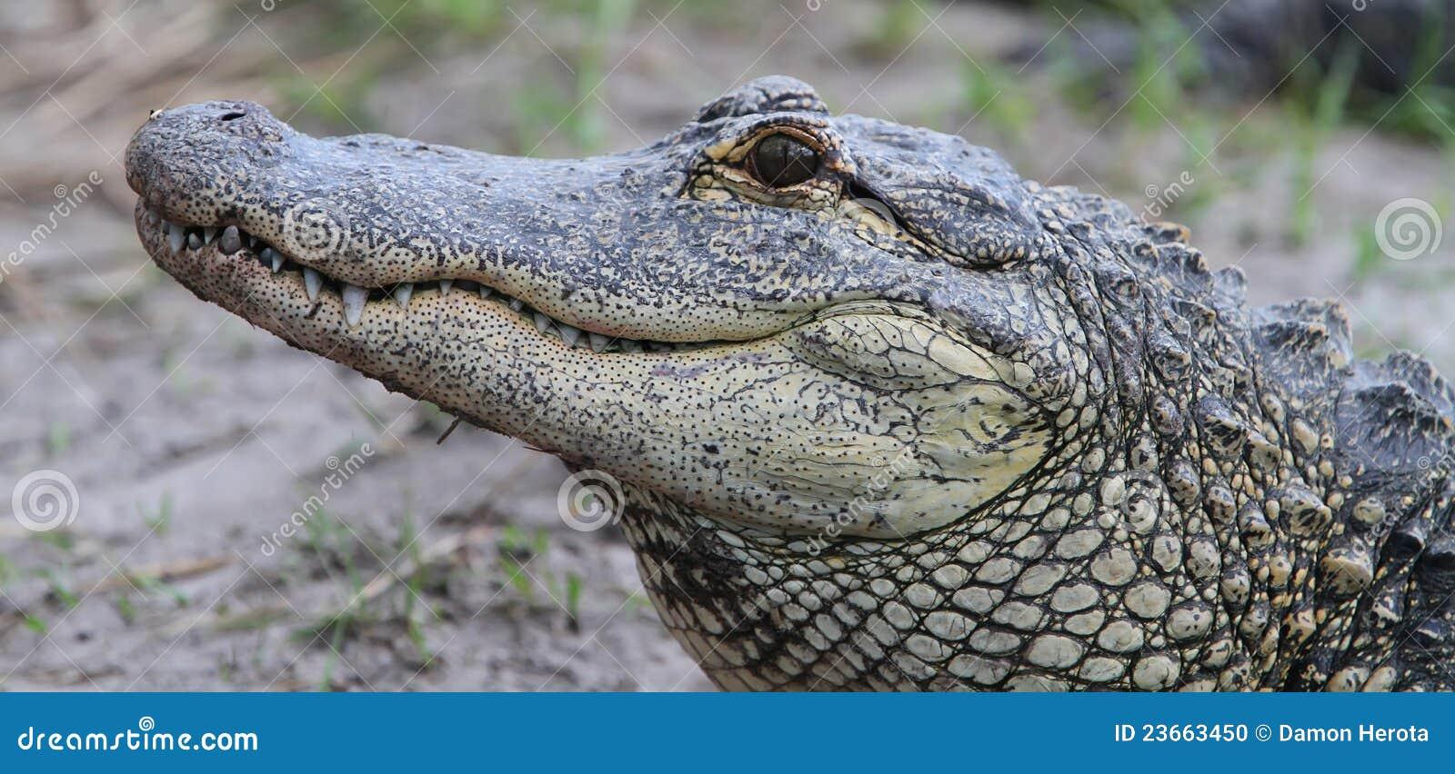 Download Florida Aligators Crocodiles Everglades Stock Photo - Image of danger, open: 23663450