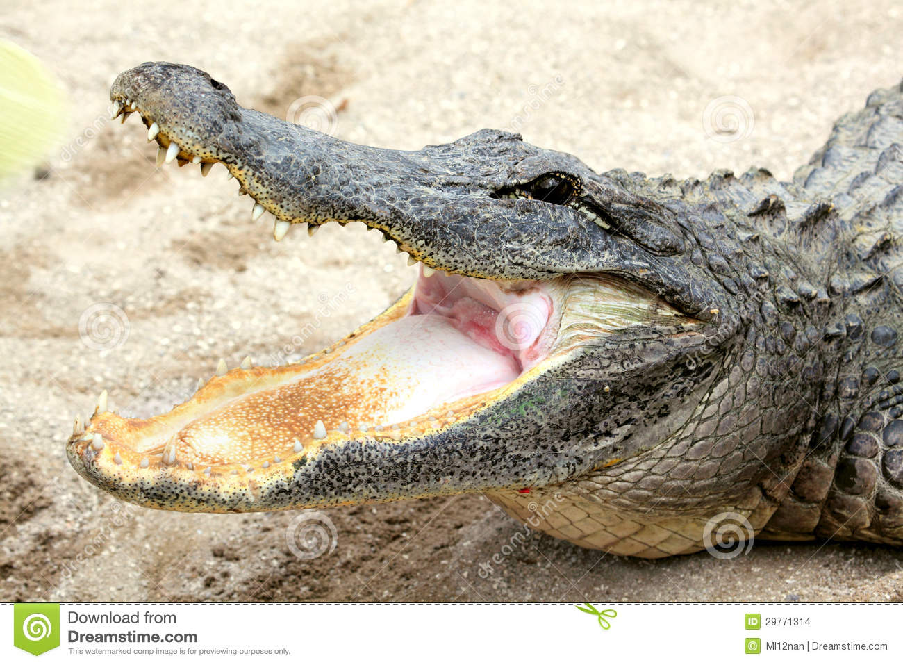 Alligators Mouth 72