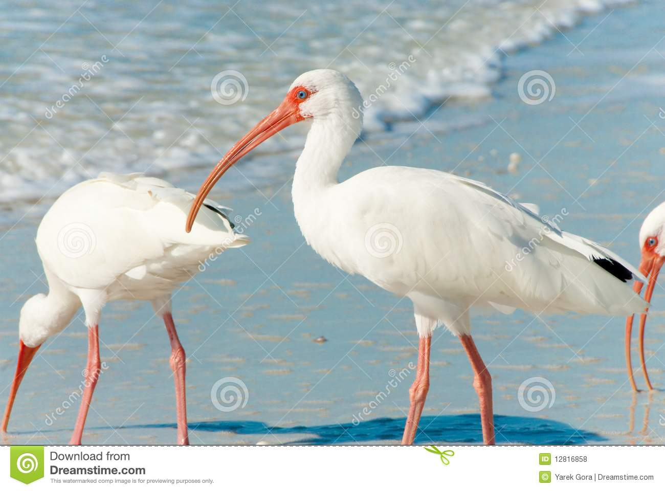 Florida Birds Royalty Free Stock Photos - Image: 12816858