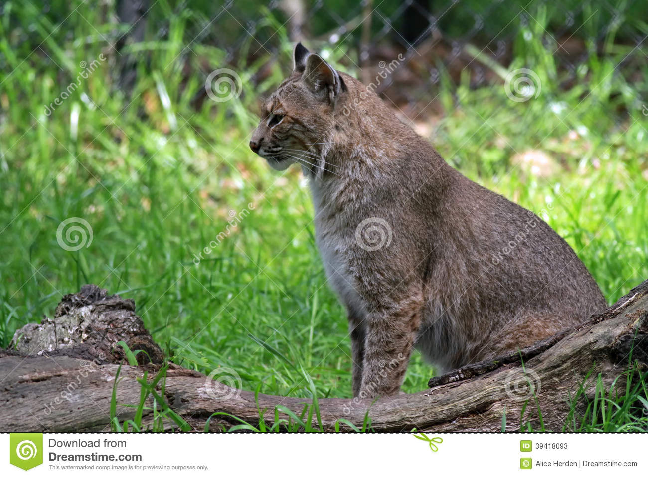 Florida Bobcat In A Wildlife State Park Stock Photo