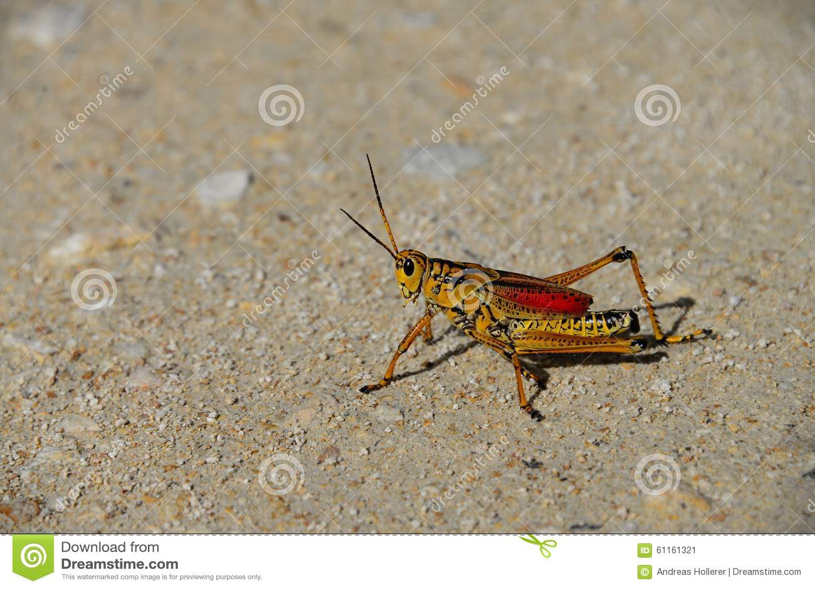 Giant Grasshopper Florida Pictures to Pin on Pinterest ...
