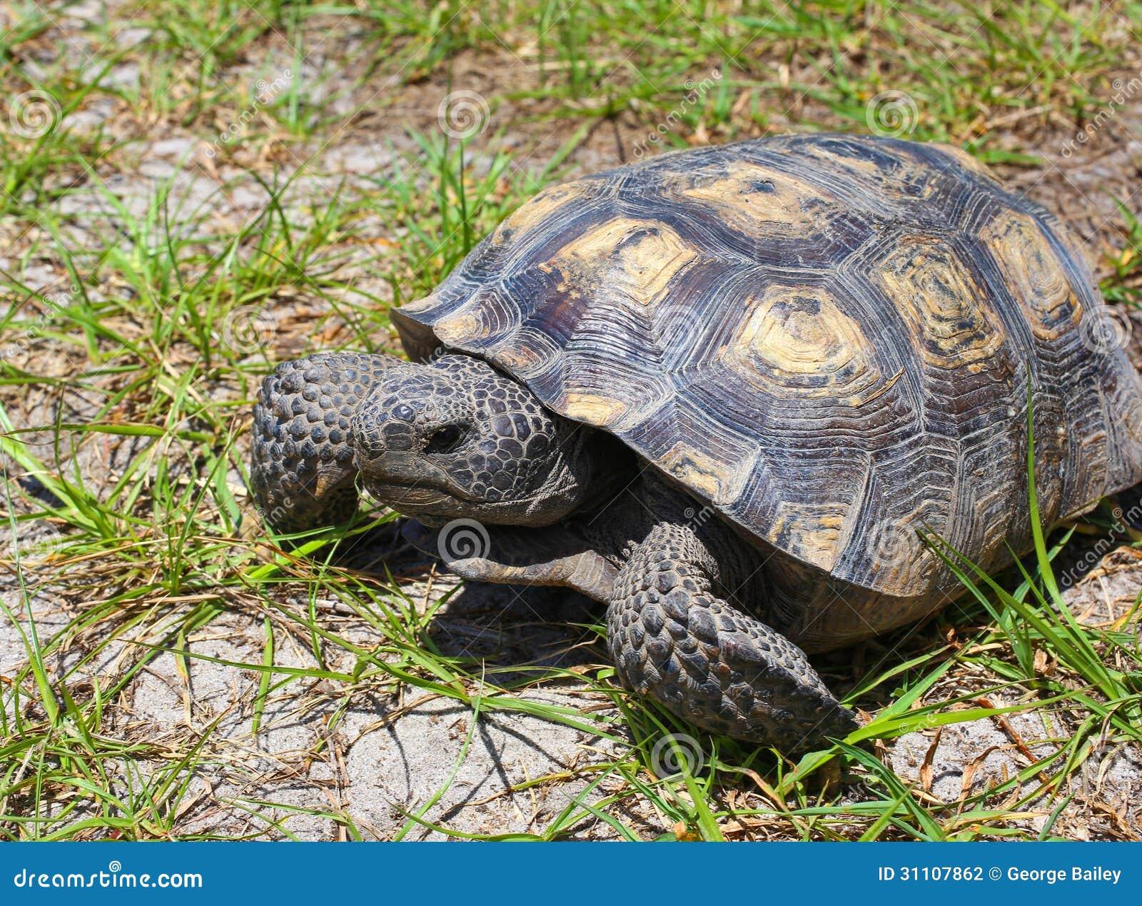 Florida-Gopher-Schildkröte