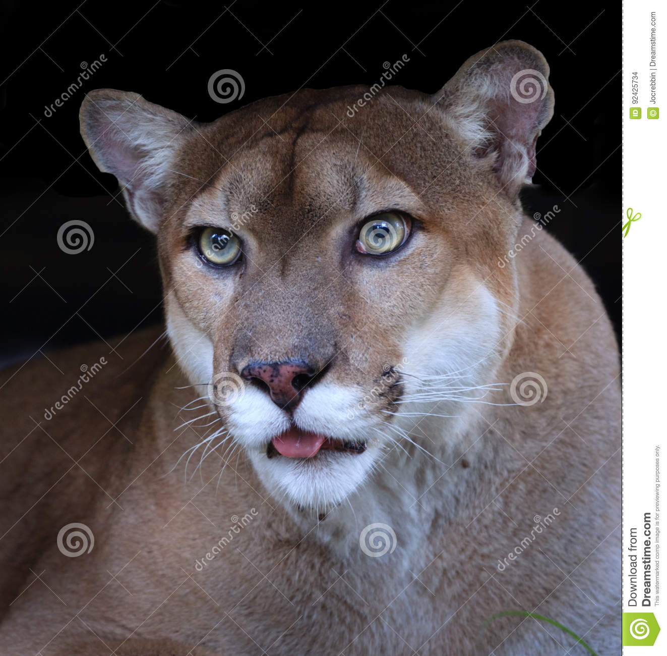 ed79eb6bf29 Florida Panther Close Up Black Background Stock Photo - Image of ...