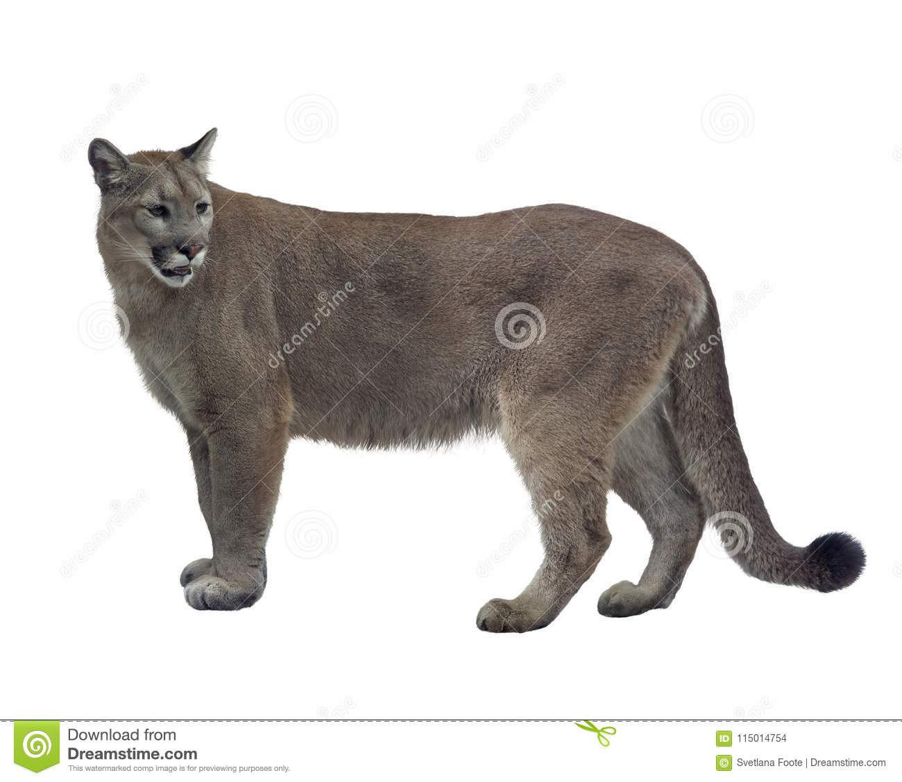 56cefa386d5 Florida panther or cougar stock photo. Image of brown - 115014754