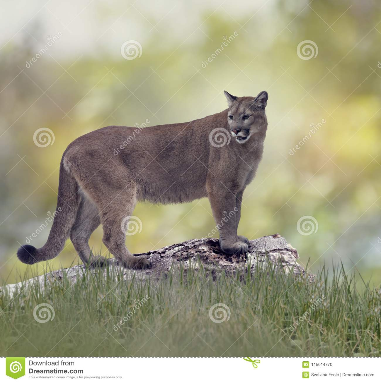 3cf74c3d292 Florida panther or cougar stock photo. Image of large - 115014770