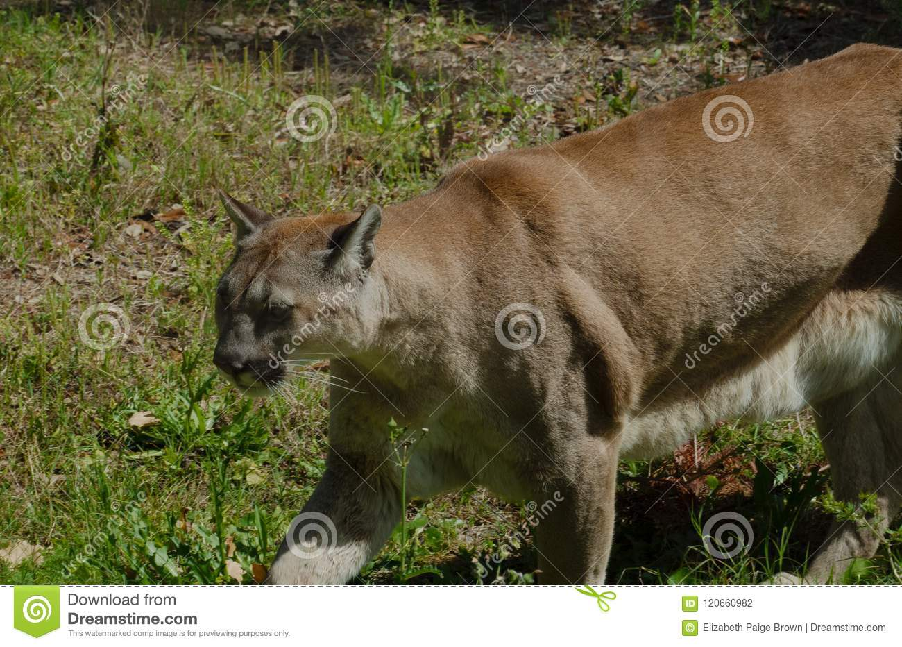 566eafc0858 Endangered Florida panther stock photo. Image of strolls - 120660982