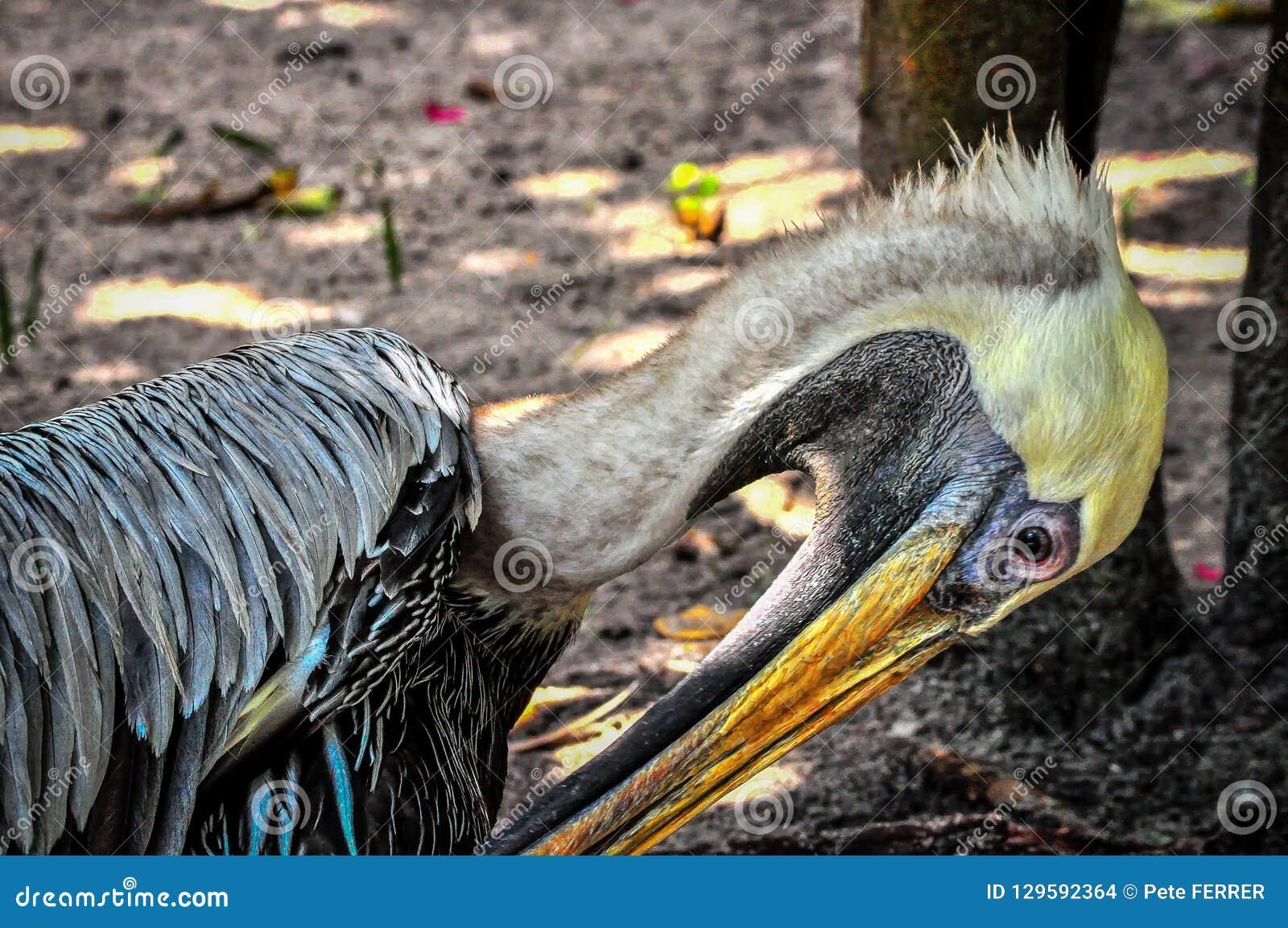 Florida-Pelikan