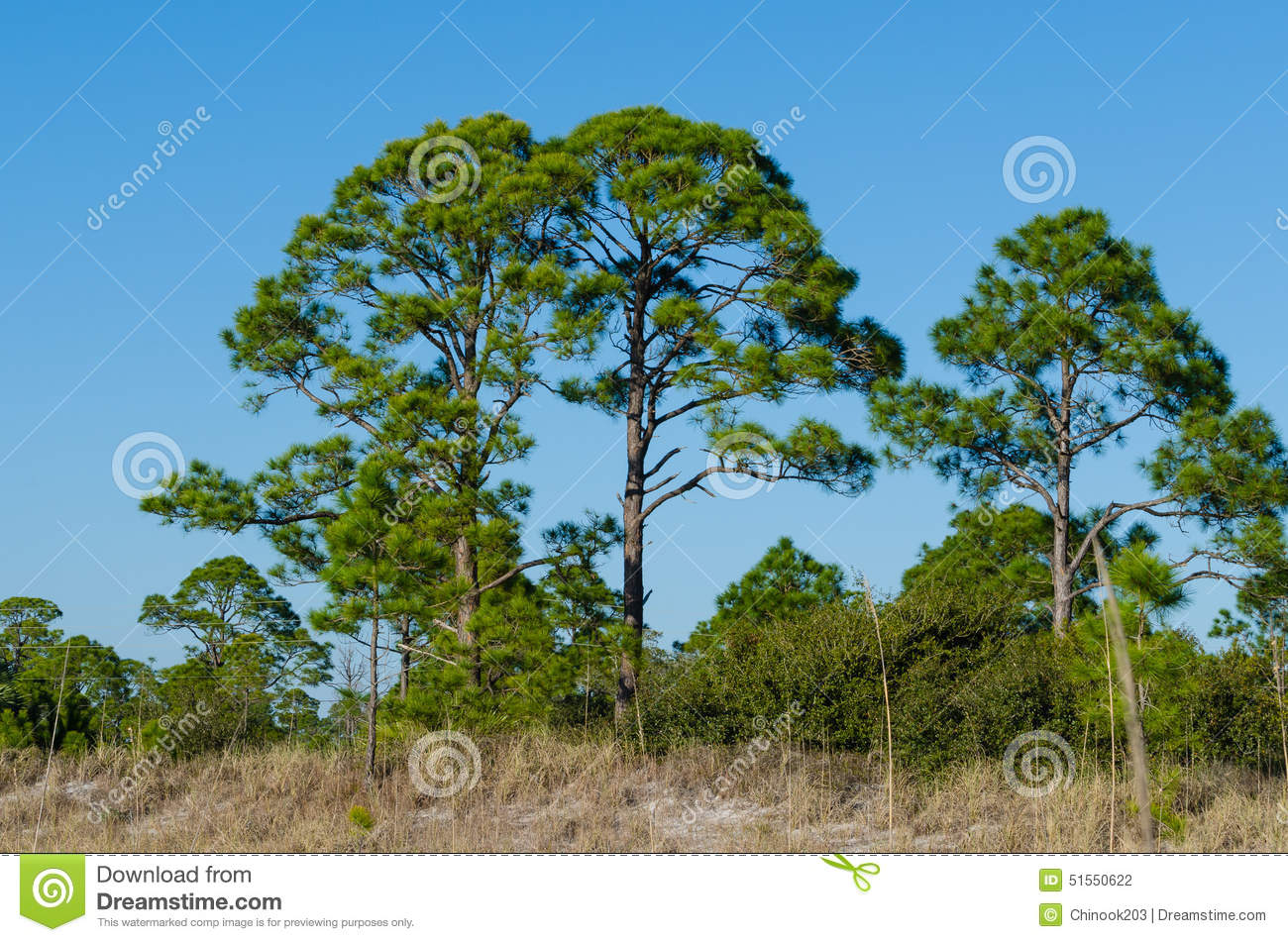 Florida pine trees on beach dune