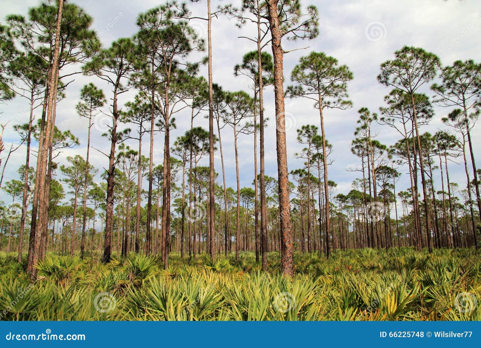 Florida Pinelands