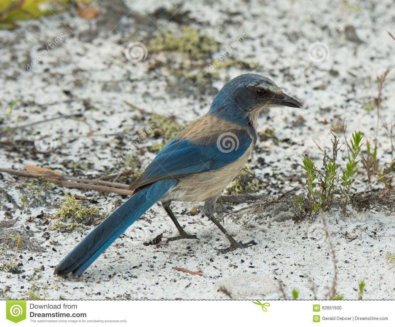 Download Florida Scrub Jay stock photo. Image of outdoors, birdwatching - 62851600