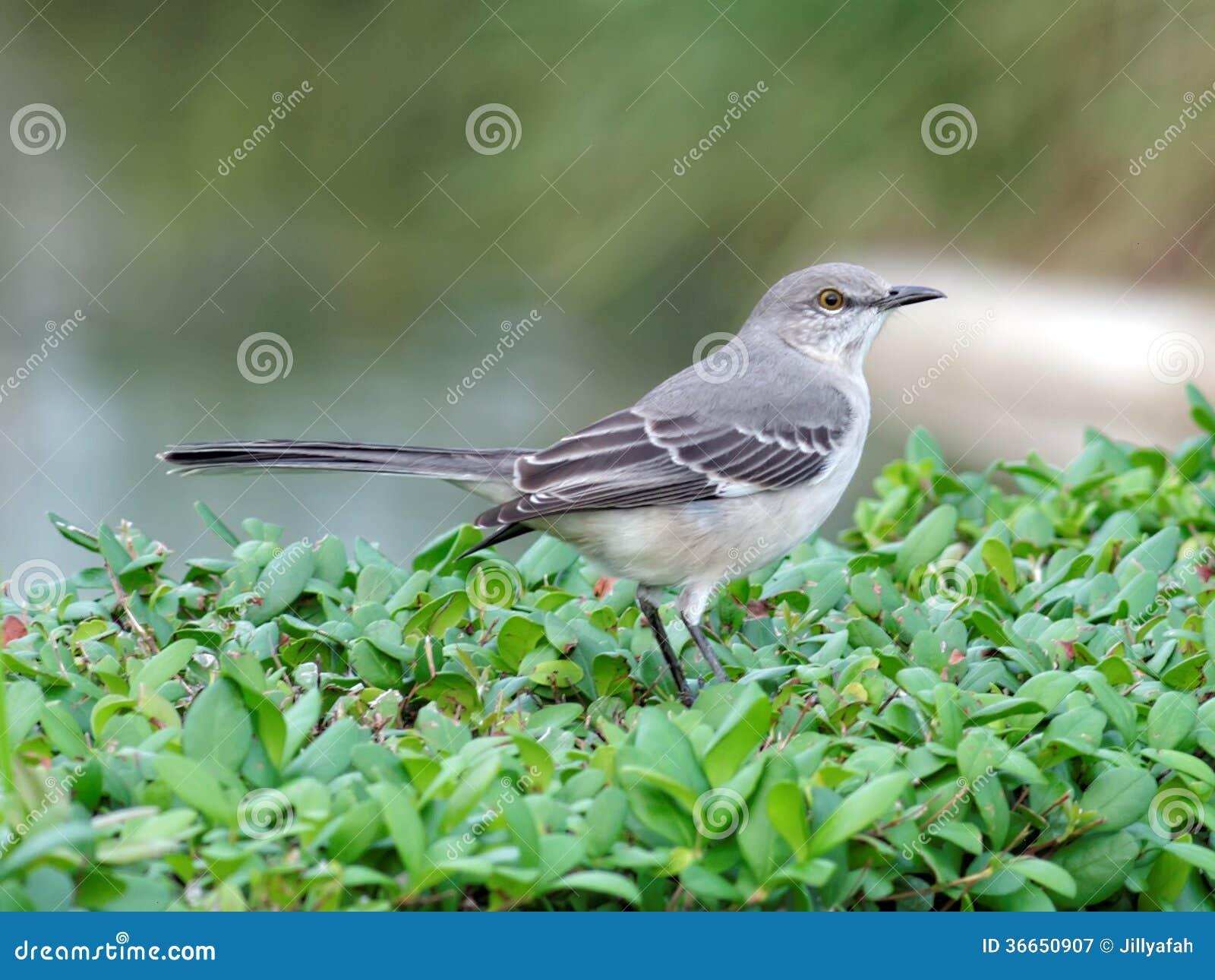 florida state bird northern mockingbird - Mocking Bird Download