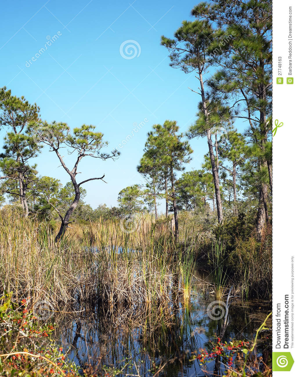 Florida Wetlands with Pine Trees Landscape