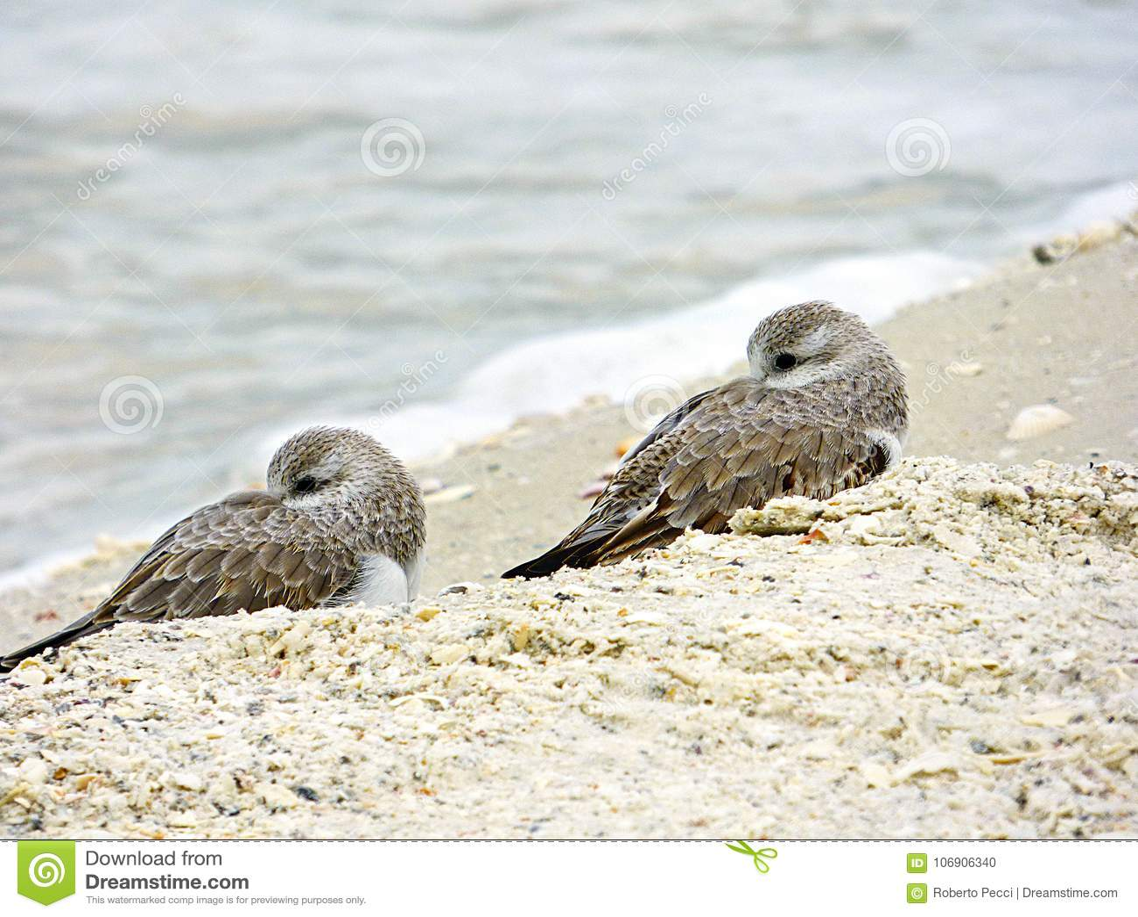 Floryda, madery plaża, dwa ptaków mały odpoczynek gnieździł się i zamyka na plaży