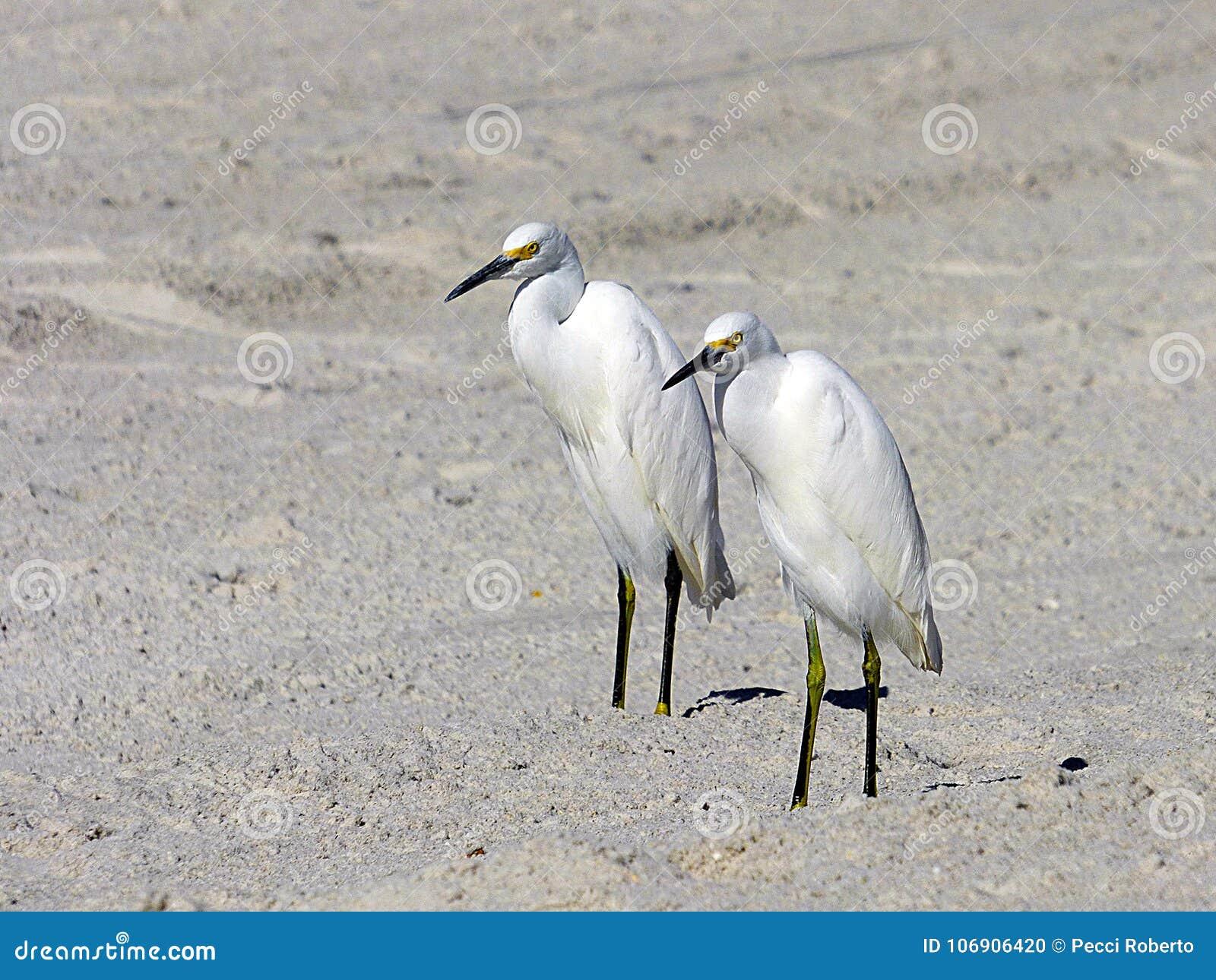 Floryda, madery plaża, dwa zamkniętego egrets stoi na plaży, zakończenie widok
