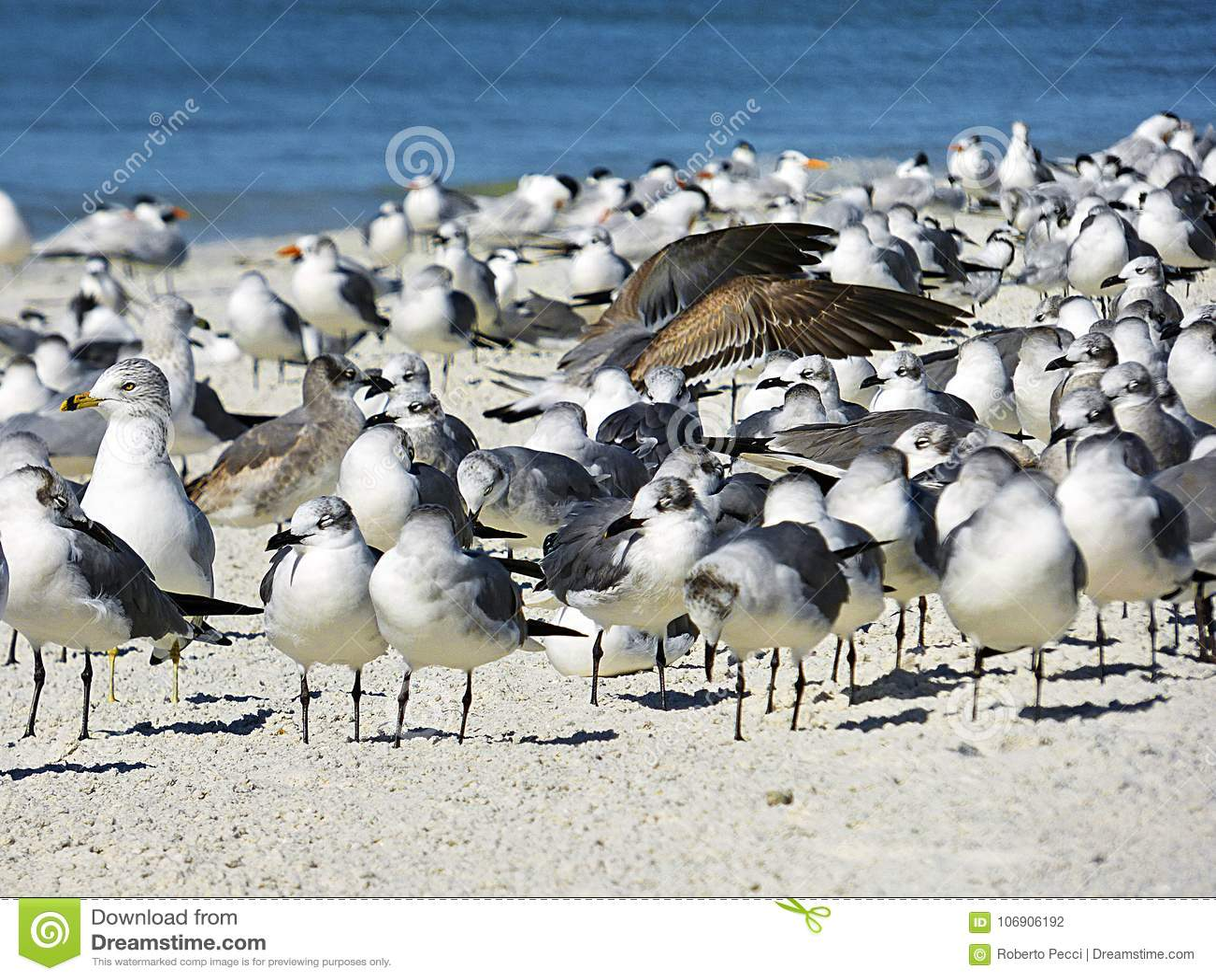 Floryda, madery plaża, kolonie denni ptaki zbierał na plaży